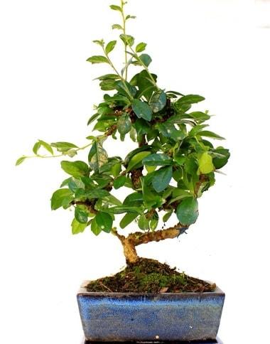 S gövdeli carmina bonsai ağacı  Erzurum online çiçek gönderme sipariş  Minyatür ağaç