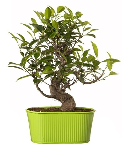 Ficus S gövdeli muhteşem bonsai  Erzurum çiçek servisi , çiçekçi adresleri