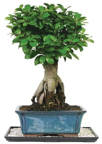 Bonsai Ginsing Grafted Ficus Bonsai  Erzurum online çiçek gönderme sipariş