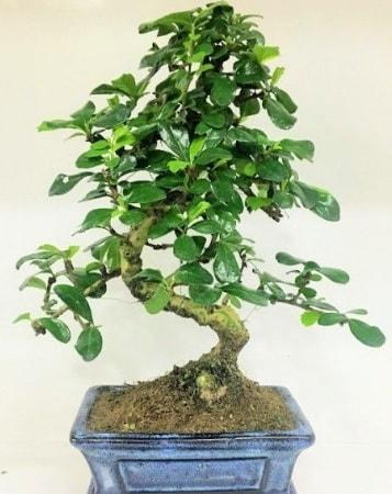 Zelkova S gövdeli Minyatür ağaç Bonzai  Erzurum cicek , cicekci