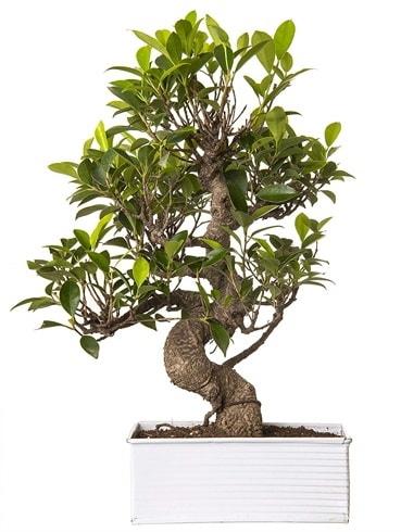 Exotic Green S Gövde 6 Year Ficus Bonsai  Erzurum çiçek siparişi vermek