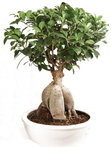 Ginseng bonsai japon ağacı ficus ginseng  Erzurum internetten çiçek siparişi